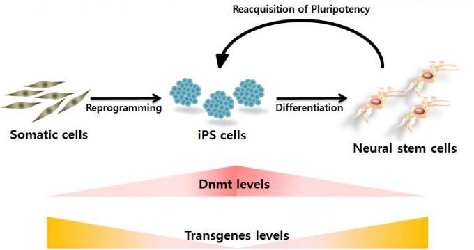 체세포에서 iPS세포로 역분화될 때는 DNA 메틸화효소(Dnmt)가 많아 외부유전자의 발현을 억제하지만, iPS세포에서 신경줄기세포로 분화한 뒤로는 이 효소가 줄면서 외부유전자의 역분화 기능이 되살아나 신경줄기세포의 일부가 iPS세포로 되돌아가는 현상이 발생한다. - 건국대 제공